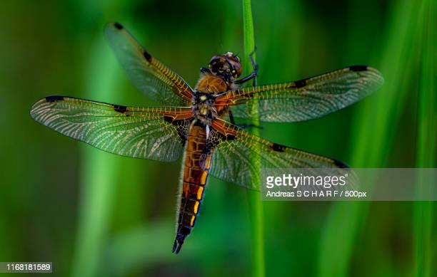 four-spotted chaser - andreas solar stock pictures, royalty-free photos & images