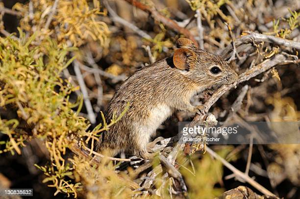 four-striped grass mouse or four-striped grass rat (rhabdomys pumilio), in its natural habitat, goegap nature reserve, namaqualand, south africa, africa - evasione dalla realtà foto e immagini stock