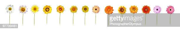 fourteen daisies xxxl - gerbera daisy stock pictures, royalty-free photos & images
