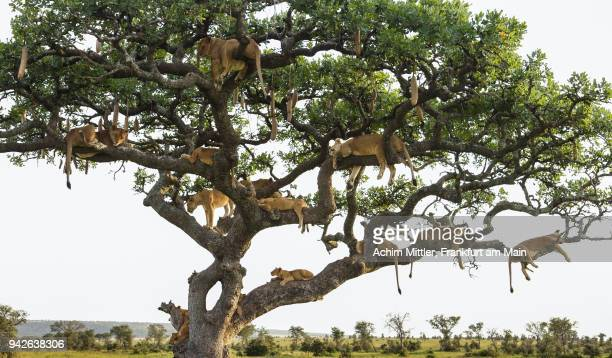fourteen lions on one sausage tree