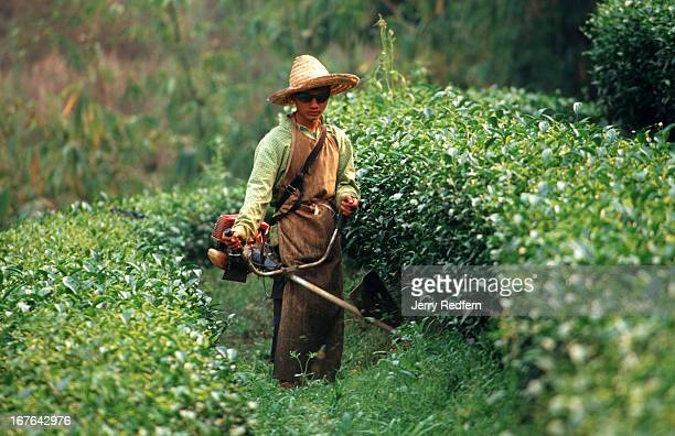 A fourteenyearold Akha hilltribe boy Lo Tua cuts weeds between rows of oolong tea growing on a plantation in rural Chiang Rai province The Thairun...