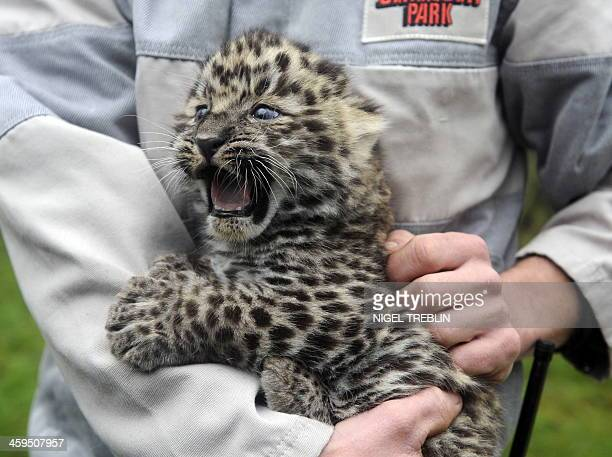 A fourweekold Amur leopard baby is presented to the public for the first time at an animal park in Hodenhagen northern Germany on December 4 2009...