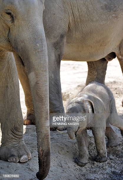 Four-week-old baby elephant named Bindi stands next to her parents at the zoo in the northern German city of Cologne on August 23, 2012. AFP PHOTO /...
