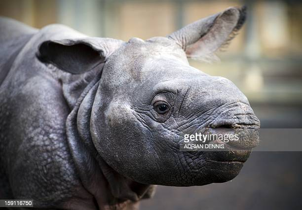 Fourweekold Jamil a greater one horned rhino stands in an enclosure at Whipsnade Zoo on January 8 2013 The rhino one of Whipsnade's newest arrivals...
