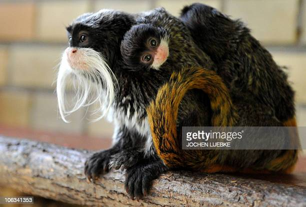 Fouryearold Emperor Tamarin Fritz carries his newborn twins in their enclosure in the zoo of Hanover northern Germany on October 28 2010 The male...