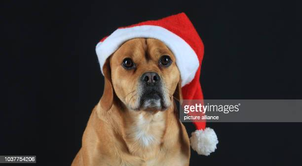 Four-year-old Puggle named 'Captain' wears a Santa Claus hat in Magdeburg, Germany, 22 December 2015. Photo:JENSWOLF/dpa   usage worldwide