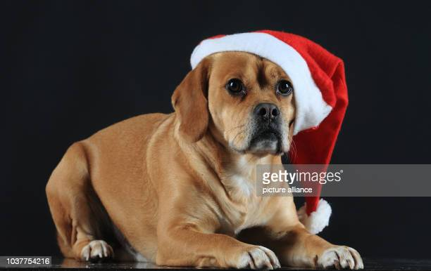 Four-year-old Puggle named 'Captain' wears a Santa Claus hat in Magdeburg, Germany, 22 December 2015. Photo:JENSWOLF/dpa | usage worldwide