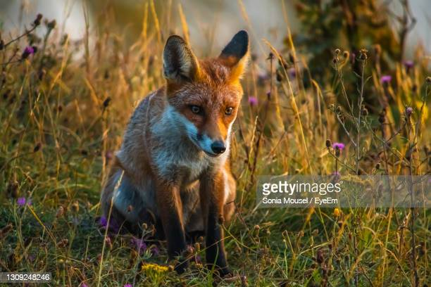 fox at dusk - totland bay stock pictures, royalty-free photos & images