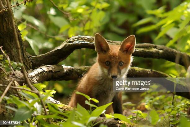 Fox Cub staring into camera