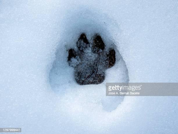 fox footprint in snow. - fuchspfote stock-fotos und bilder