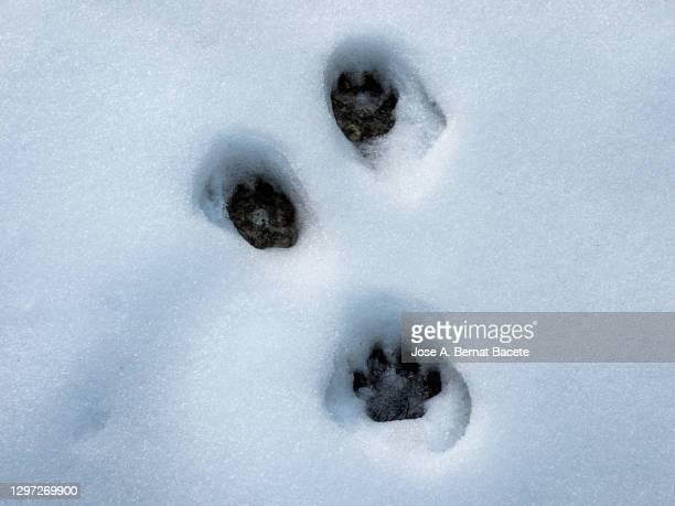 fox footprints in snow. - fuchspfote stock-fotos und bilder