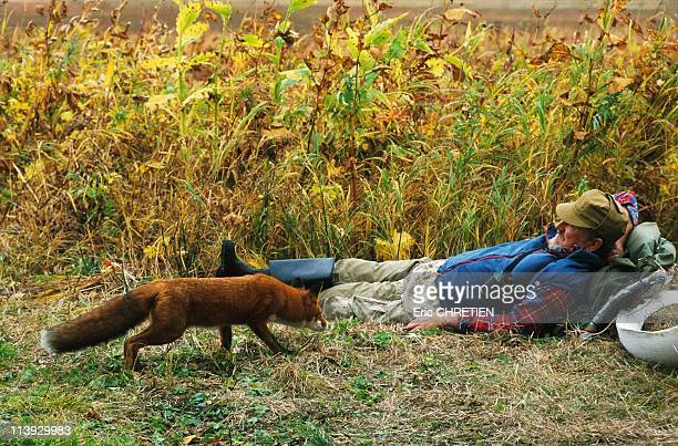 Fox Friend Of Man Kamtchatka In Russia In 1999The animals have adopted VitalyThey know his odour and this curious fox does not seem worried about...