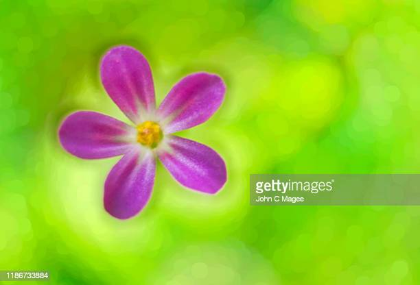 fox geranium - mt hood national forest stock pictures, royalty-free photos & images