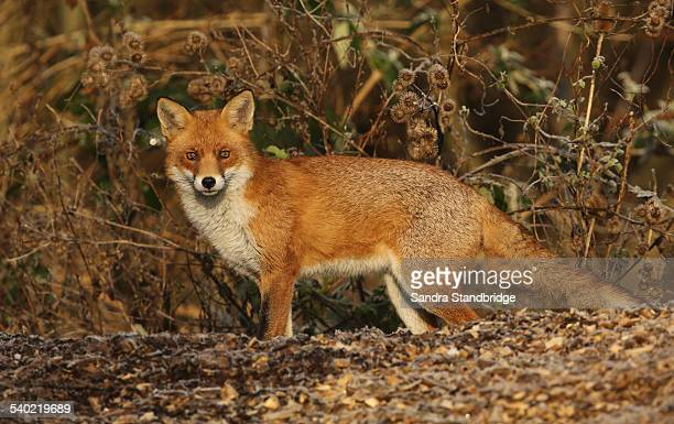 A Fox hunting for food
