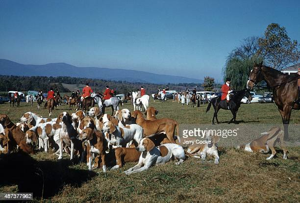 View of foxhounds of Old Dominion Hounds led by MFH Albert P Hinckley before activites on Kennels Farm Orlean VA CREDIT Jerry Cooke