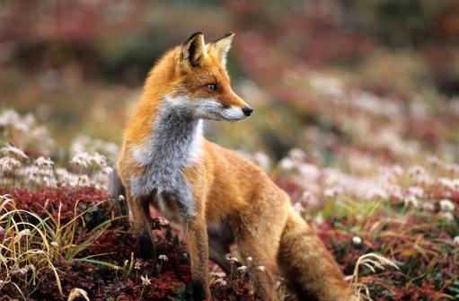 Fox in a autumn mountain 108200397