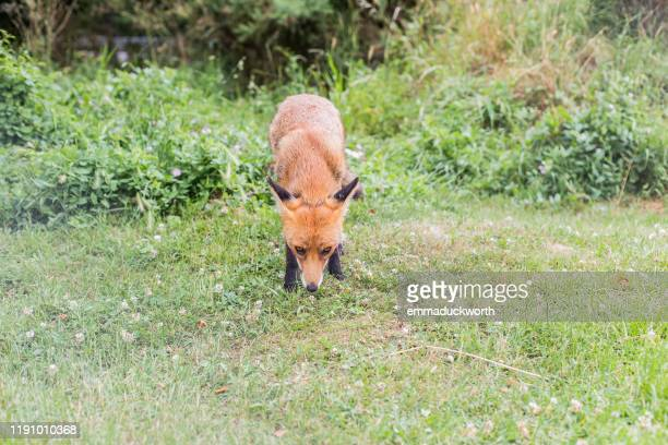 fox in a park, london, england, united kingdom - fox stock pictures, royalty-free photos & images