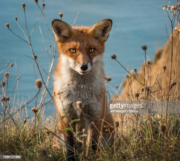fox in green land . - alum bay stock pictures, royalty-free photos & images
