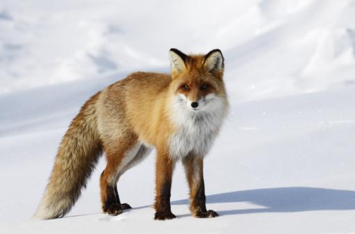 Fox in snowdrift. 157684908