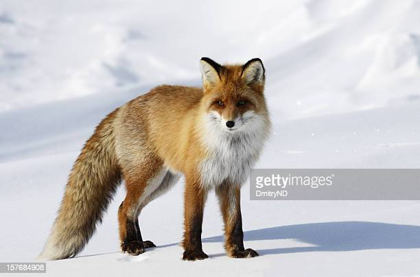 Fox in snowdrift.