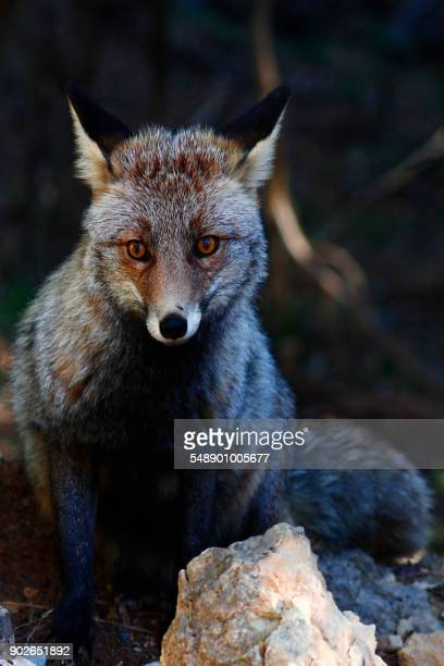 fox in the forest - fuchspfote stock-fotos und bilder