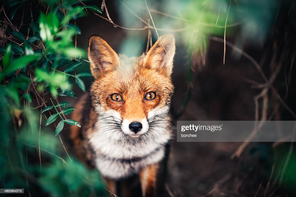 Fox In The Meadow : Stock Photo