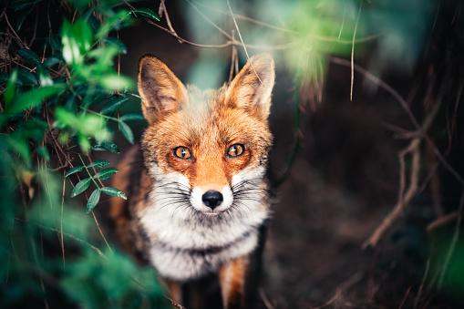 Fox In The Meadow 485364370