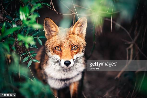 fox in the meadow - animal themes stock pictures, royalty-free photos & images