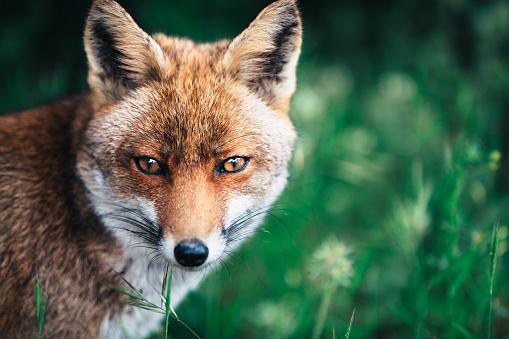 Fox In The Meadow 959095226