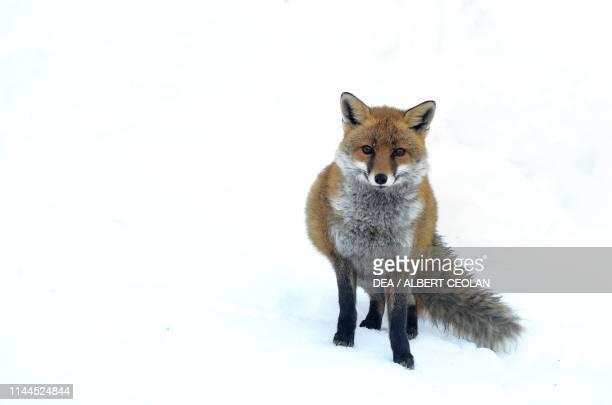 Fox in the snow Spormaggiore Wildlife Park Paganella plateau TrentinoAlto Adige Italy