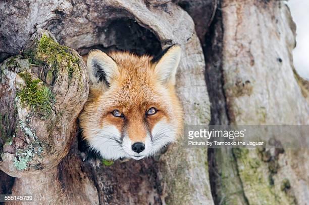 Fox in the tree!