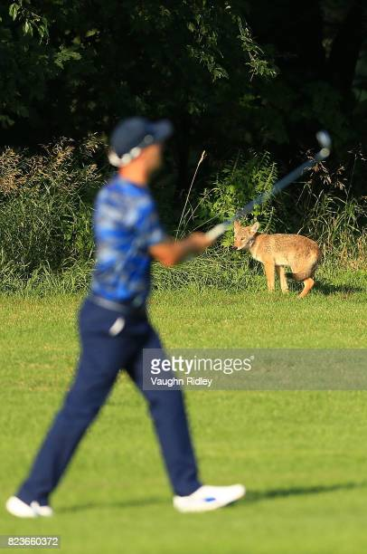 A fox is seen as Ben Crane of the United States plays his shot during round one of the RBC Canadian Open at Glen Abbey Golf Club on July 27 2017 in...