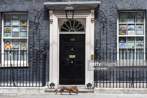 Fox is seen running past 10 Downing Street on May 26, 2020 in London, England. The prime minister announced the general contours of a phased exit...