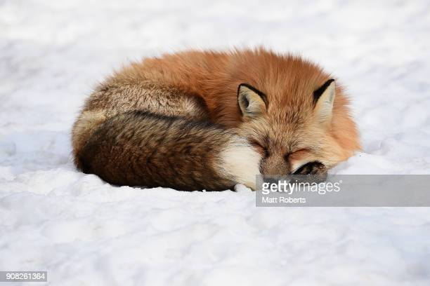 A fox is seen sleeping in the snow at the Zao Fox Village on January 21 2018 in Shiroishi Japan