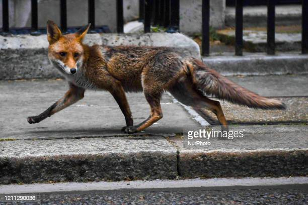 A fox is seen walking at Downing Street Downing Street on April 29 2020 in London England Britain on Tuesday said it would extend reporting of deaths...
