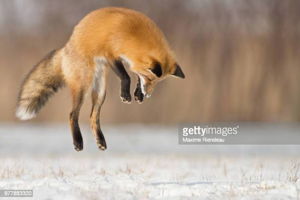 fox jumping - fox stock pictures, royalty-free photos & images