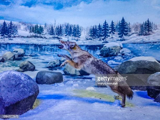 fox jumps - czech hunters stock pictures, royalty-free photos & images