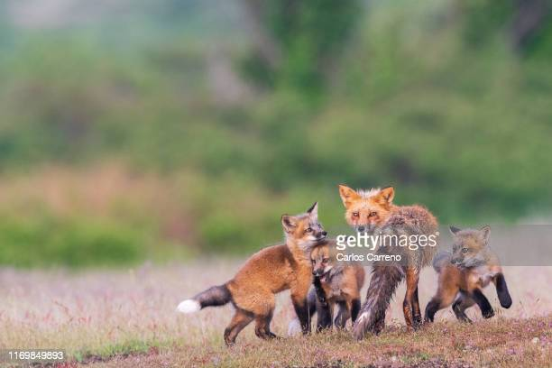 fox kits welcome mom - fox stock pictures, royalty-free photos & images