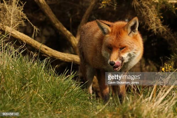 Fox licks lips.