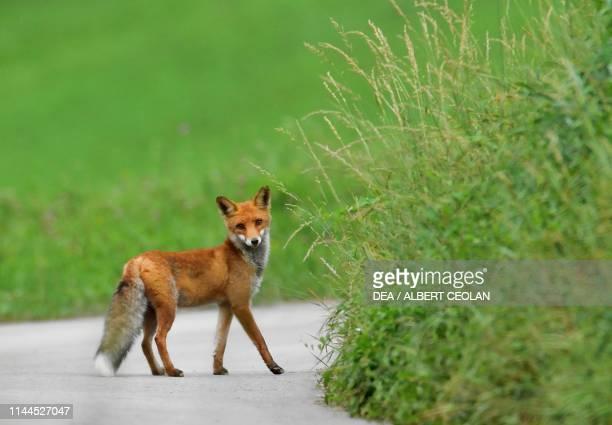 Fox Lomasona valley TrentinoAlto Adige Italy