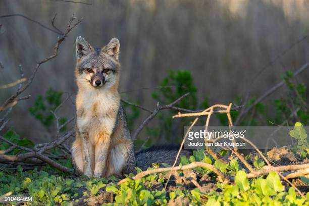 fox (urocyon cinereoargenteus) looking at camera, coyote hills regional park, california, united states, north america - gray fox stock photos and pictures
