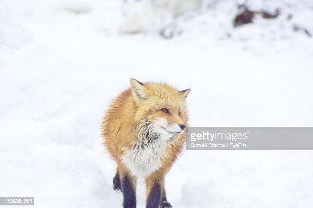 Fox Looking Away While Standing On Snow Covered Field
