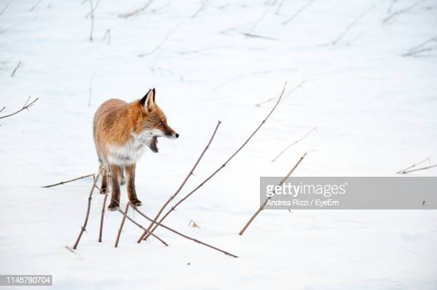 fox looking away while standing on snow - andrea rizzi stockfoto's en -beelden