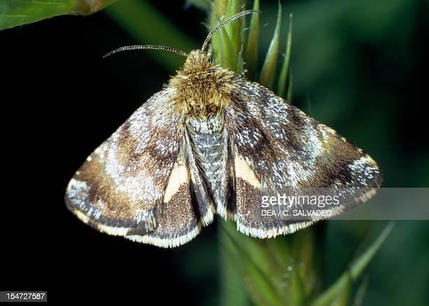 Fox moth Lasiocampidae