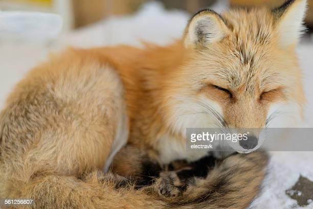 Fox napping