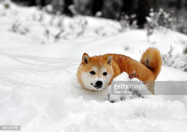 a fox? no, it's a shiba inu - shiba inu winter stock pictures, royalty-free photos & images