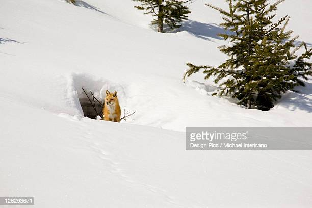 fox on a snow covered hill next to a den opening