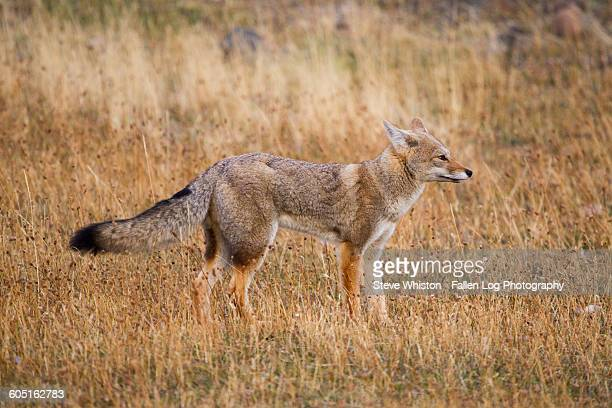 fox on alert in patagonia - gray fox stock photos and pictures