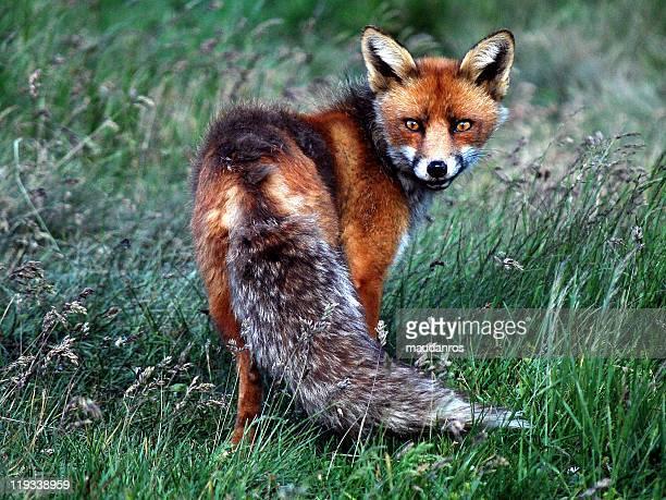 Fox on grass