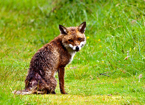 Fox on grassland